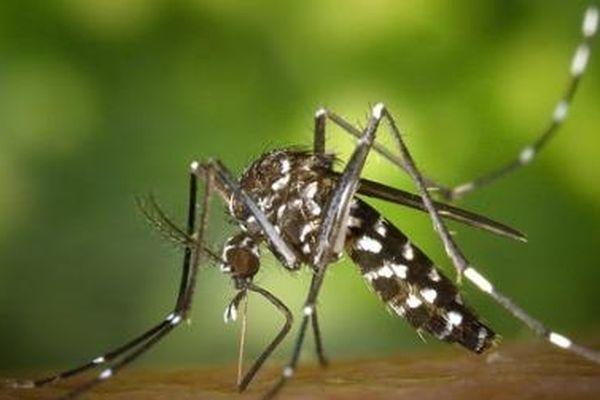 le moustique Aedes, responsable de l'épidémie de dengue