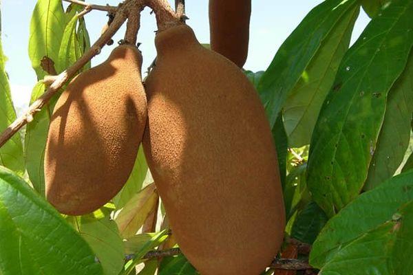 Le cupuaçu,fruit d'Amazonie