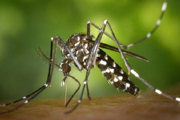 Le moustique tigre est le vecteur du paludisme à Mada