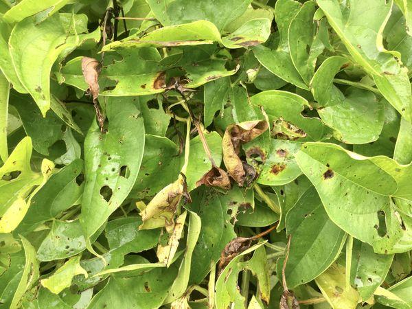 plant d'igname touché par l'anthracnose.