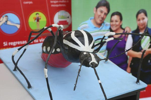 Moustique Aedes aegypti qui transmet le Zika, la Dengue et le Chikungunya au ministère de la Santé du Pérou à Lima