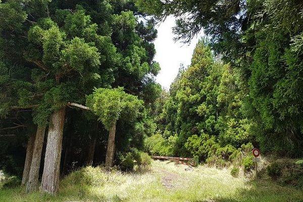 Forêt de sapins à La Réunion.