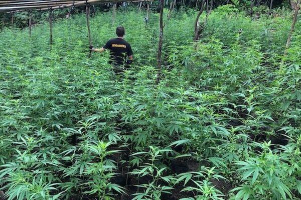 3016 plants de cannabis à Raiatea