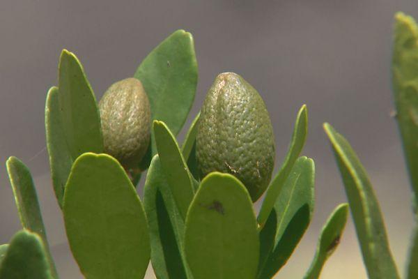 citrus calédonien