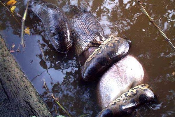 Anaconda se nourrissant