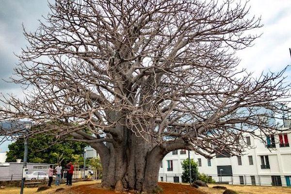 Le baobab des camélias