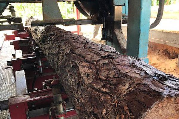 La scierie exploite principalement le pinus