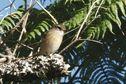 Le Tuit-Tuit, oiseau endémique de La Réunion, menacé d'extinction