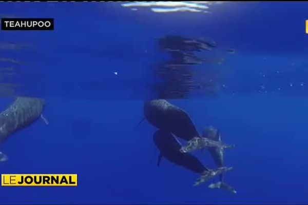 Des globicéphales à Tahiti