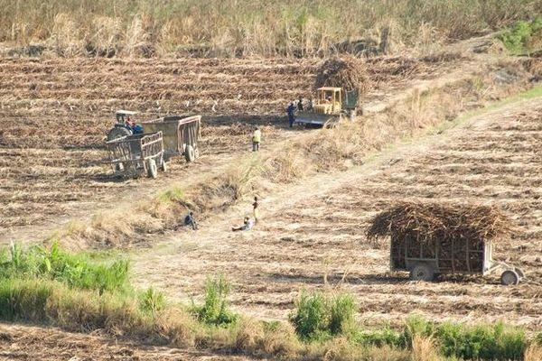 La Jamaïque recolte de la canne à sucre