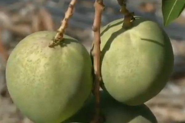 Les premières mangues de la saison à plus de 18 euros le kilo