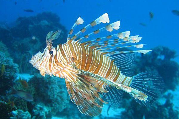 Lionfish Poisson lion
