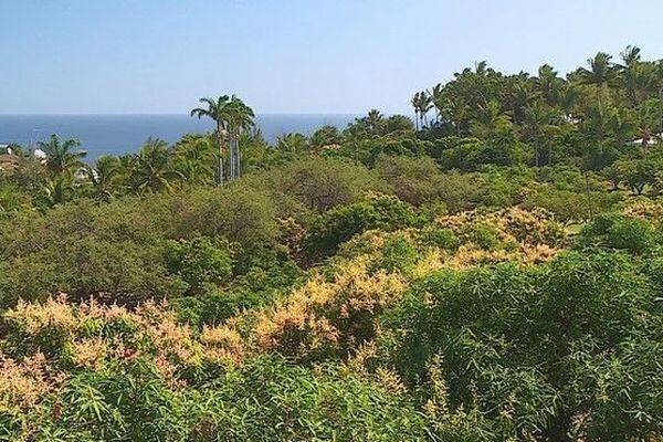 Saison des mangues s'annonce bonne verger Ouest 140818