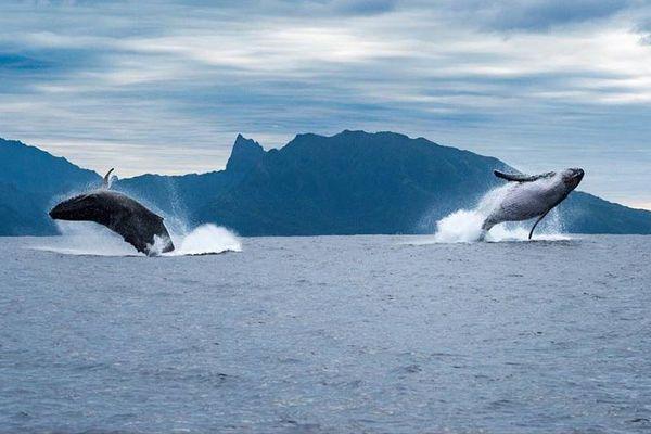 Les baleines sous l'oeil du photographe Sylvain Girardot