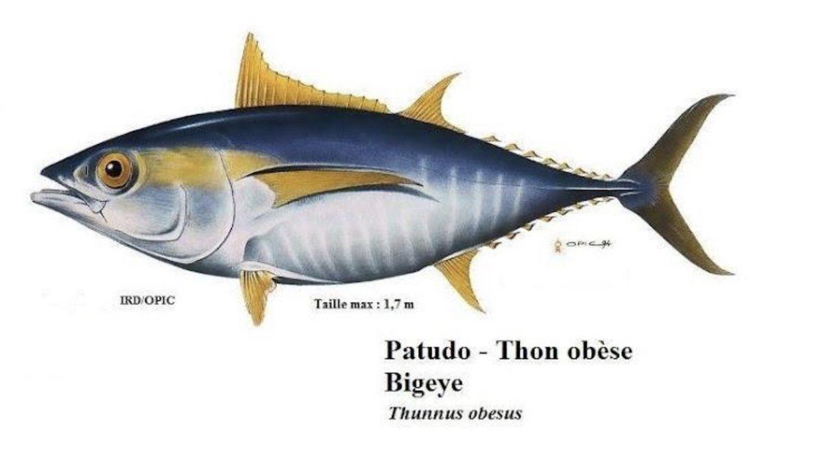L'avenir du thon obèse, au coeur des préoccupations du monde de la pêche -