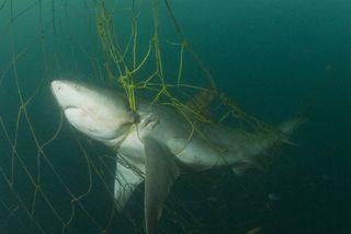 Australie : des filets anti-requins