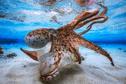 Grâce à son poulpe dansant de Mayotte, Gabriel Barathieu remporte le prix de la meilleure photo sous-marine