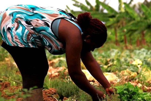Terre d'agriculture de Guadeloupe