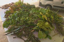 Plantes et médecines traditionnelles sur le marché de Pointe-à-Pître