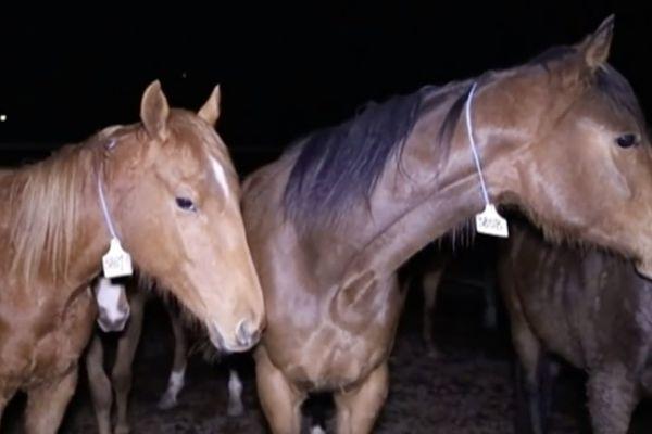 Abattage chevaux