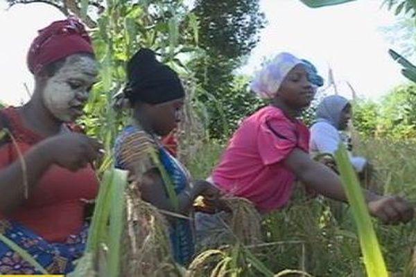 Récolte de riz à Mayotte
