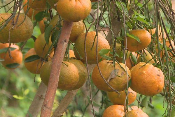 fête de la mandarine