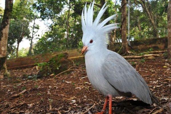 Cagou de Nouvelle-Calédonie