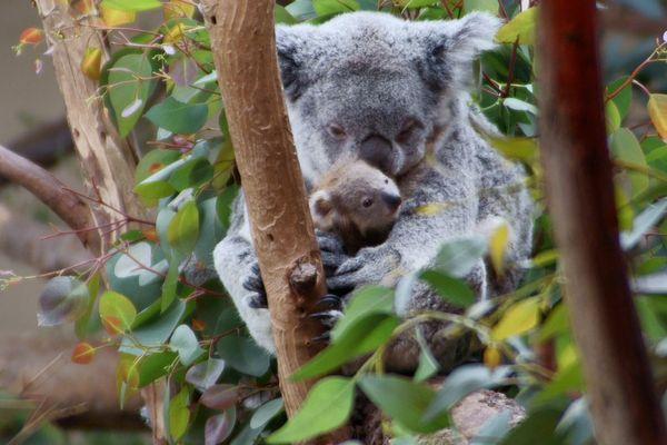 Koala dans un zoo