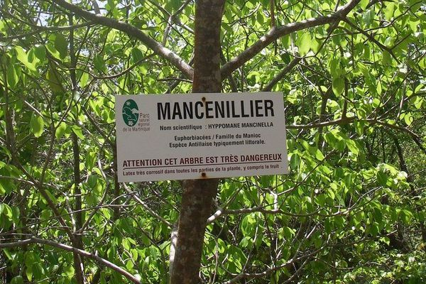Mancenillier