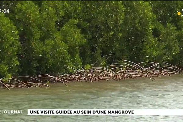 Une visite guidée au sein d'une mangrove