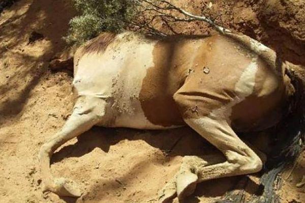 chevaux morts australie