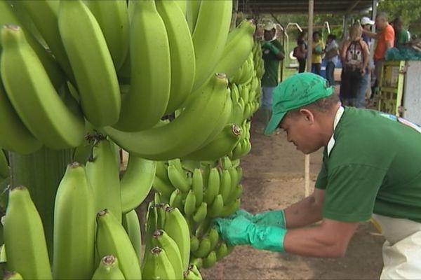 Banane (formation)