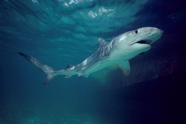 Requin tigre (illustration)