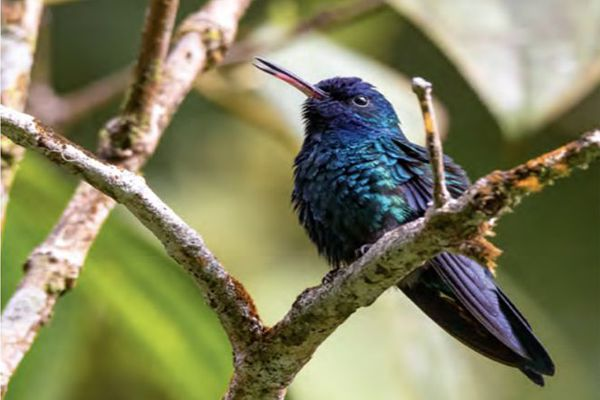 Colibri à tête bleue Cyanophaia bicolor