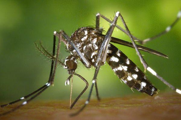 Moustique fièvre jaune