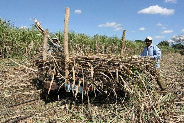 Fidji : canne à sucre
