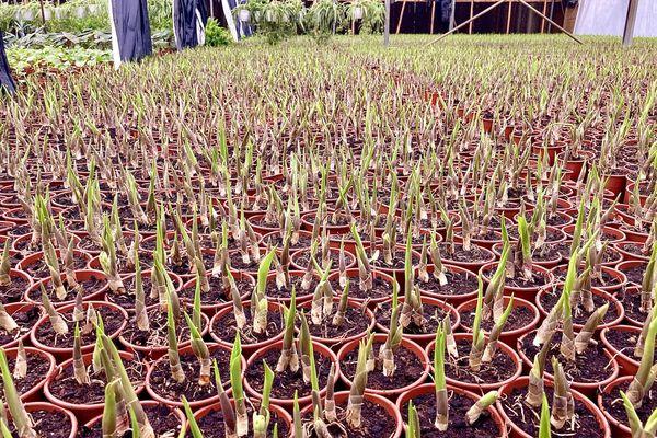 Préparation des plants de muguets pour le 1er mai 1