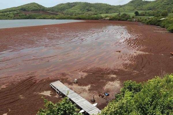 La pointe Jean-Claude au Robert en Martinique envahie par les sargasses (juin 2015)