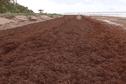 Les algues sargasses de retour sur le littoral de Guyane