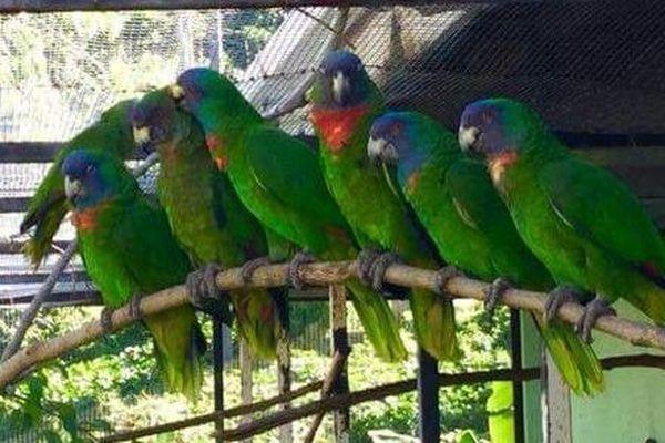 Perroquets Jacko
