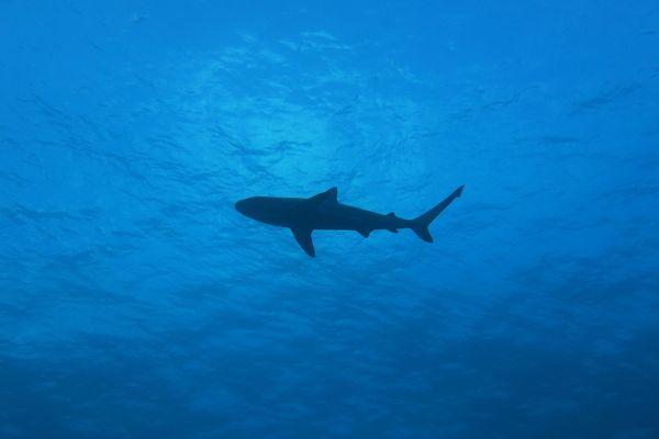 Requins (IRD)