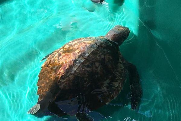 tortue dans le centre de soin de l'Aquarium de la Guadeloupe