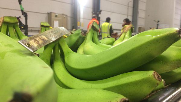 Bananes Martinique et Guadeloupe