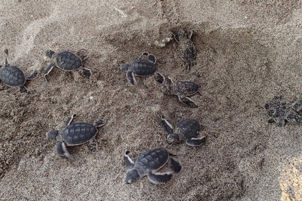 Tortues éclosions