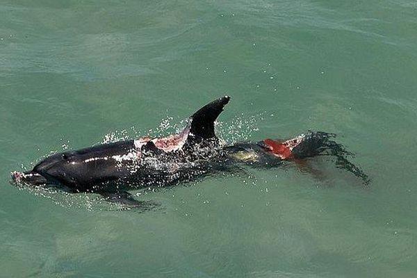 dauphin devoré requin