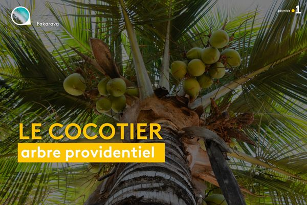 Cocotier, l'arbre providentiel