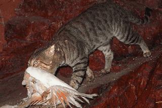 chats sauvages en australie