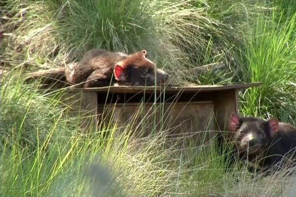 Les chats marsupiaux vont aussi être réintroduits en Australie