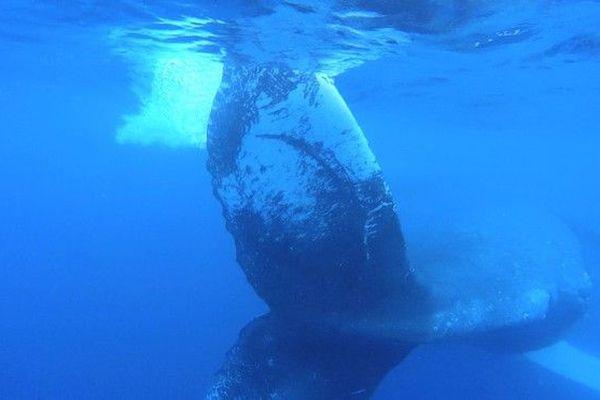 Baleine caudale queue tache blanche individu dangereux