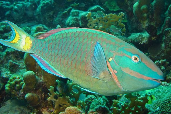 St. Vincent Grenadines poisson perroquet